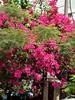 tempo cor de rosa (luyunes) Tags: buganvílias buganvilia flor florada flores primavera corderosa cobalhumaitá luciayunes motoz pink