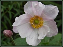 5491 b1 Japanese Anemone flower and bud. (Andy - Busyyyyyyyyy) Tags: aaa bbb bud fff flower japaneseanemone jjj petals ppp white www