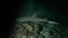 White Tip Shark in night dive. (omar.flumignan) Tags: whitetipreefshark triaenodonobesus squalo pinnabianca mayathila arinord northari atoll atollo immersione notturna night dive nightdive immersionenotturna maldive maldives vacanza holiday mare sea canon g7xmk2 fantasea fg7xmk2 ikelite ds51 allnaturesparadise ngc flickrtravelaward