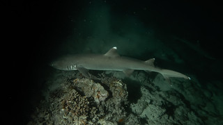 White Tip Shark in night dive.
