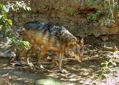 vanishing mexican wolf (JoelDeluxe) Tags: arizonasonora desert museum tucson az joeldeluxe cacti heat plants wildlife zoo botanical garden minerals displays gardens birds
