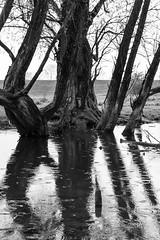 Dark days (Theo Bauhuis) Tags: boom tree reflection reflectie reflections spiegeling donker rain regen monochrome zwartwit bw arnhem meinerswijk floodplains uiterwaarden populier populus water