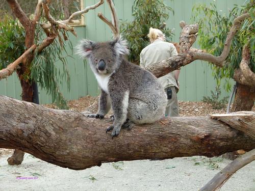 Moonlit Sanctuary - Koala