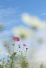 I remember… (miyunico*) Tags: 空 sky 秋桜 cosmos bokeh 大人の宿題
