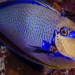 Bignose Unicornfish with vivid colors - Naso vlamingii thumbnail