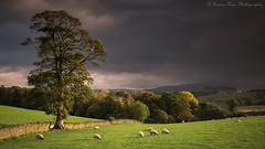 Here Comes The Rain (.Brian Kerr Photography.) Tags: cumbria autumn weather landscapephotography landscape sonyuk a7rii photography armathwaite lazonby hartside trees tree briankerrphotography briankerrphoto formatthitech nature naturallandscape natural outdoor outdoorphotography opoty colours rain wind storm grass animal sheep sky field mountain countryside