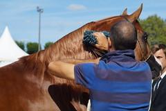 4/6 Show Pur-Sang Arabe (Sdine) Tags: arabianhorse horse horseshow pompadour
