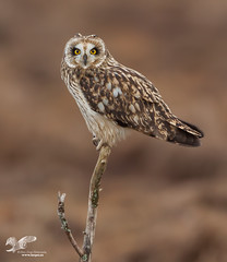 Oldie But Goodie (short-eared owl) (The Owl Man) Tags: