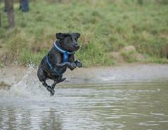 Flying Lab (Darren Cordingley) Tags: blacklabrador dog chien hund hondo flying playing pond water stick nikon d800 nikon70200mmf28