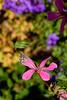 Brun du pélargonium. [Cacyreus marshalli] - proxy (oudjat45) Tags: brundupélargoniumcacyreusmarshalli papillon butterfly schmetterling fleur blimen flower rose pink vert green grün nature