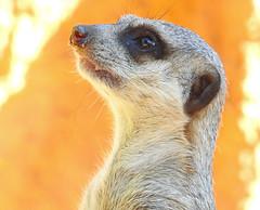 Suricata / Meerkat (Suricata suricata) (Marina CRibeiro) Tags: portugal lisbon lisboa zoo suricata meerkat carnivoro carnivore