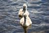 Cygnets Behind Mum. (e.pinner) Tags: cygnets swans lake petersfield petersfieldheath water