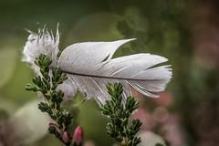 feather (Bea Antoni) Tags: canon tamron macro closeup bokeh lost feder feather