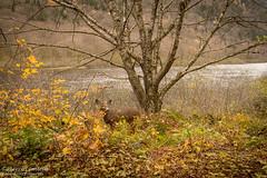 Cerf de Virginie / White-tailed Deer (Pierre Lemieux) Tags: saintebrigittedelaval québec canada ca valléedelajacquescartier parcnational cerfdevirginie whitetaileddeer rivière river eau water fall autumn automne