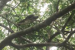CALAO GIOVANE.   ----  YOUNG CALAO (Ezio Donati is ) Tags: animali animals uccelli birds alberi trees natura nature africa costadavorio bigervillearea