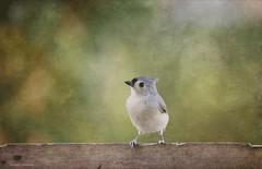 Tufted T (raewillow) Tags: tufted titmouse backyard bird ohio autumn