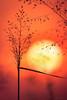 Silhuetas da Natureza (Bruno Garcia Alvares) Tags: sunset sun pordosol silhuetas nature natureza campo red sol macro macrofotografia beatiful canon600d canon100mmf28usm brunogarciaalvares yellow beaty goldenhour sideview silhouette closeup