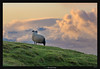 Sheep's view (Ilan Shacham) Tags: landscape view scenic grass cloud sheep overlooking watching skogafoss iceland fineart fineartphotography