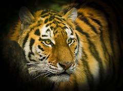 Alisha (Through-my-eyes.) Tags: tiger dartmoorzoo zoo dartmoor stripes eyes eye ears nose whiskersbigcat wild animal cat big