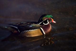 Wood Duck at Burnaby Lake