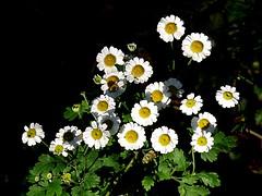 Feverfew 300/365 (Hornbeam Arts) Tags: tanacetumparthenium herb