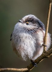 Long Tail Tit. (Jez Nunn) Tags: longtailtitnikonbirdsnaturewildlifebirdd3300
