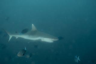 Grey Reef Shark. Squalo Grigio. (Carcharhinus Amblyrhynchos)
