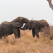 Swaziland - Elephant fight (Hlane National Park)