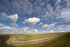 Canola & Clouds (Edmonton Ken) Tags: alberta canola oil seed farm rural harvest drying rapeseed sky cloud blue white green brassica field line curve texture beautiful agriculture orange hilly stripe canada