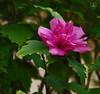 Lush Bloom (DGS Photography) Tags: missouri branson silverdollarcity flower bloom blossom pink petals