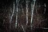 birches (hansekiki ) Tags: niedersachsen steinhudermeer landschaften multipleexposure mehrfachbelichtung canon 5dmarkiii wald bäume