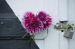 Freitagsblümchen (ღ eulenbilder - berti ღ) Tags: dahlien geschenk andertür freckenhorst blüten farben blumen garten