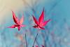 Glowing Autumn (piri198) Tags: fujifilm fuji fujinon xe2s xf1855mmf284rlmois lightroom lightroom6 autumn herbst blätter leaves ahorn maple acertataricum rot blau himmel leuchten glowing germany badenwürttemberg