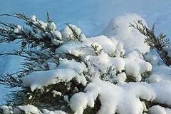 joy of the snow c