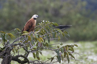 Busarellus nigricollis / Black-collared Hawk
