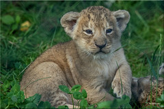 Asian Lion cub. (Phil-Greaves.) Tags: lioncub lion cub baby animal carnivore mammal wildlife nature lions cat bigcats little young asian asiatic asiaticlion