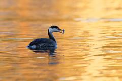 Catch in golden pond (Adam Wang) Tags: bird westerngrebe ocean sunset sea reflection nature wildlife