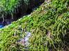 abetone bosco (giordano torretta alias giokappadue) Tags: abetone bosco muschio verde