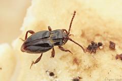Lycoperdina bovistae (Radim Gabriš) Tags: coleoptera cucujoidea endomychidae lycoperdina lycoperdinabovistae handsomefungusbeetle beetle insect macro insectmacro macrophotography