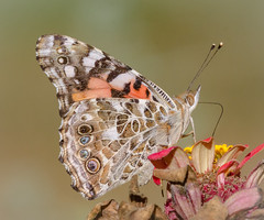 Sipping the Last Nectar (tresed47) Tags: 2017 201710oct 20171007homebutterflies butterflies canon7d chestercounty content fall folder home insects macro october paintedlady pennsylvania peterscamera petersphotos places season takenby technical us