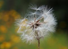 Dandelion Seeds (Kat~Morgan) Tags: dandelion seeds nature bokeh yellow green wild sonya3000