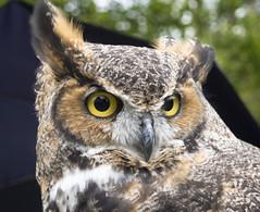 Great Horned Owl, Tree House Bird Rehab, Dow, IL (Ranger Robb) Tags: birds treehousewildlifecenter rehabilitation