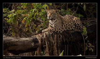 Pantanal Queen
