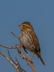 Savannah Sparrow  (c) 2017 Walt Hackenjos. All rights reserved.