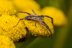 Wolf Spider (Lycosidae sp.) (The LakeSide) Tags: macro netherlands nikon r1c1 d7100 spider wolf tanacetum vulgare