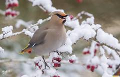 Frozen Lunch #2 (Bohemian Waxwing) (The Owl Man) Tags: bohemianwaxwing hawthorne berries feeding