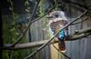 blue-winged kookaburra (bialobrody) Tags: australian nature animal bird
