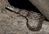 Boa Constrictor (cowyeow) Tags: snake snakes sonora mexico baby boa herpetology mexicansnake reptile reptiles herp herps herping constrictor imperator latinamerica nature wildlife boaconstrictor