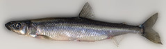 """Female rainbow smelt • <a style=""""font-size:0.8em;"""" href=""""http://www.flickr.com/photos/142691167@N05/26349259789/"""" target=""""_blank"""">View on Flickr</a>"""