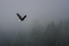 Roamin' in the gloamin' (Tim Melling) Tags: haliaeetus leucocephalus bald eagle canada timmelling